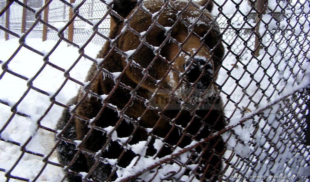 Ursul Baloo din Straja  a împlinit 15 ani! (Galerie FOTO)