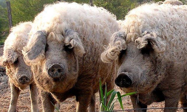 Deva: Program de sprijin pentru crescătorii de porci din rasele Bazna și Mangalița