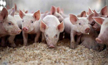 Măsuri luate de Primăria Deva pentru prevenirea pestei porcine africane