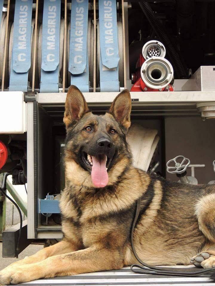 Bebe, câinele de serviciu al pompierilor hunedoreni și scafandrii au reușit găsirea cadavrului unui bătrân căzut în pârâul Cerna