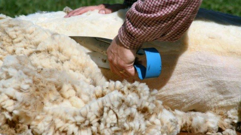 Centru autorizat de colectare a lânii de oaie în Hunedoara